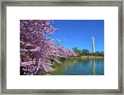 Framed Print featuring the photograph Cherry Blossoms by Mitch Cat