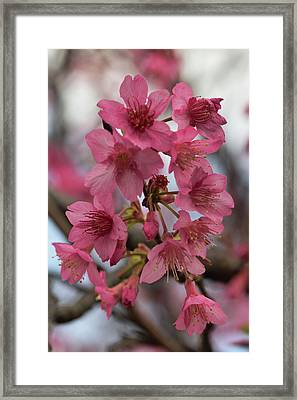 Framed Print featuring the photograph Cherry Blossoms by Pamela Walton