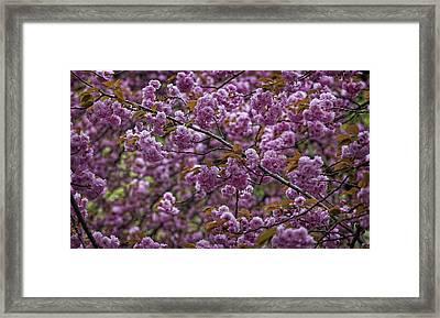 Cherry Blossoms Framed Print by Robert Ullmann