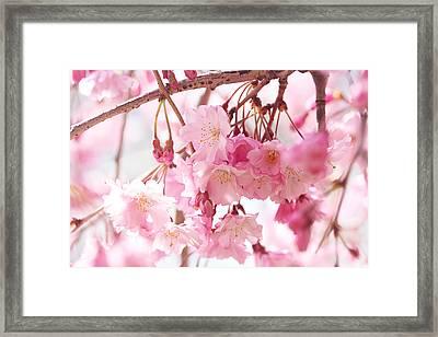 Cherry Blossoms Framed Print by Trina Ansel