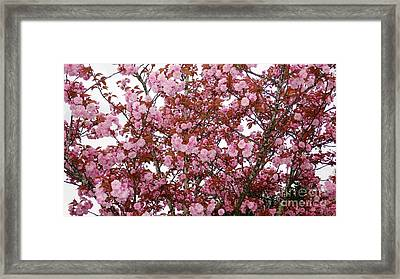 Framed Print featuring the photograph Cherry Blossoms  by Victor K