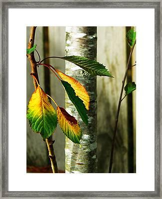 Cherry Tree Framed Print by Pamela Patch