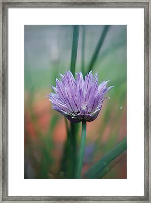 Chive Flower  Framed Print by Lisa Gabrius