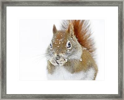Christmas Squirrel Framed Print by Mircea Costina
