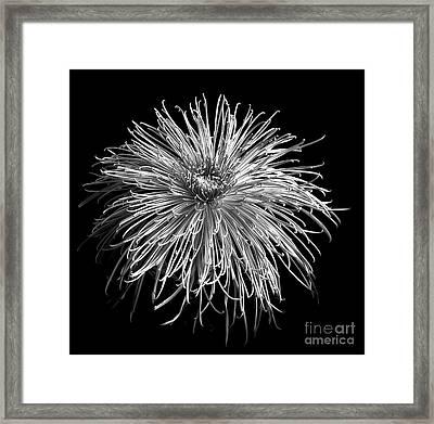 Chrysanthemum 'pink Splendor' Framed Print