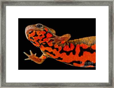 Chuxiong Fire Belly Newt Framed Print