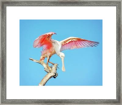 Spoonbill Cleared For Takeoff Framed Print