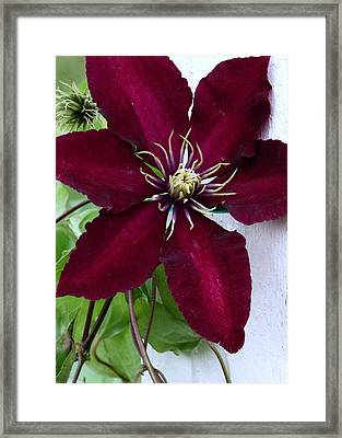 Clematis Framed Print by Janice Drew
