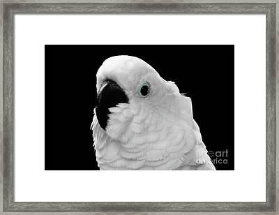 Close-up Crested Cockatoo Alba, Umbrella, Indonesia, Isolated On Black Background Framed Print by Sergey Taran