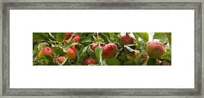 Close-up Of Apples Growing On Tree Framed Print