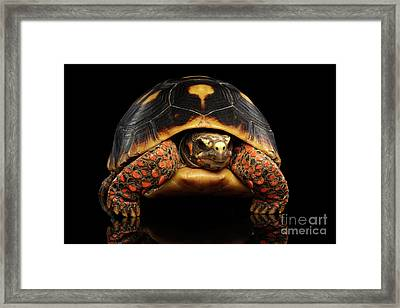 Close-up Of Red-footed Tortoises, Chelonoidis Carbonaria, Isolated Black Background Framed Print by Sergey Taran