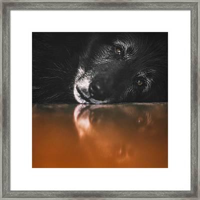 Close Up Portrait Of A Belgian Sheepdog Framed Print