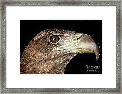 Close-up White-tailed Eagle, Birds Of Prey Isolated On Black Background Framed Print by Sergey Taran