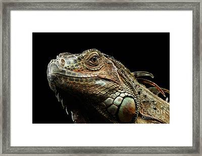 Closeup Green Iguana Isolated On Black Background Framed Print by Sergey Taran