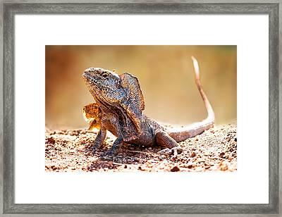 Closeup Of Alert Frilled Neck Lizard Framed Print by Susan Schmitz