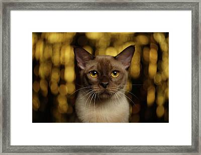 Closeup Portrait Burmese Cat On Happy New Year Background Framed Print