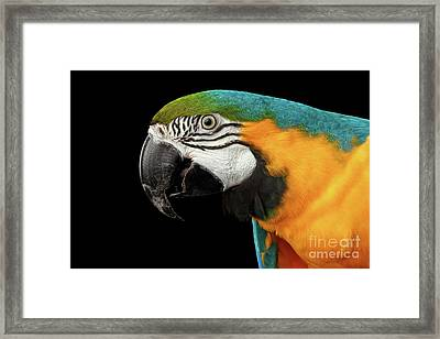 Closeup Portrait Of A Blue And Yellow Macaw Parrot Face Isolated On Black Background Framed Print by Sergey Taran