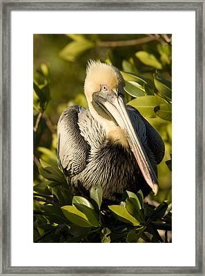 Closeup Portrait Of A Brown Pelican Framed Print by Tim Laman