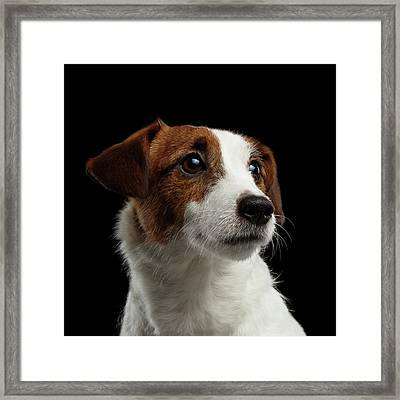 Closeup Portrait Of Jack Russell Terrier Dog On Black Framed Print