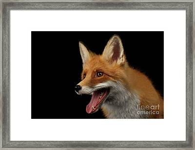 Closeup Portrait Of Smiled Red Fox Isolated On Black  Framed Print