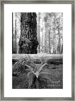 Coastal Redwoods  Framed Print