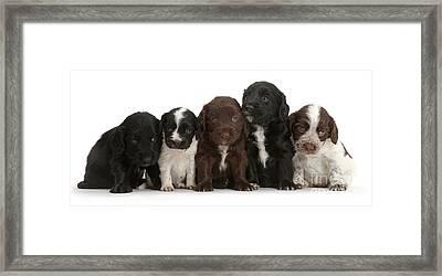Cocker Spaniel Puppies Framed Print
