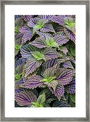 Coleus Framed Print by Jessica Jenney