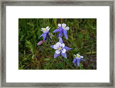 Framed Print featuring the photograph Colorado Columbine by Steve Stuller