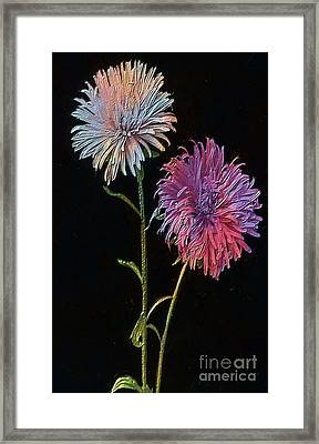 Colored Garden Asters Framed Print