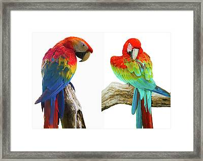 Colorful Parrot Isolated In White Background Framed Print