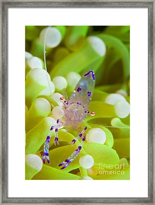 Commensal Shrimp On Green Anemone Framed Print by Steve Jones