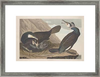 Common Cormorant Framed Print
