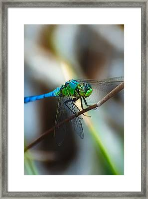 Common Green Darner Framed Print by Rich Leighton