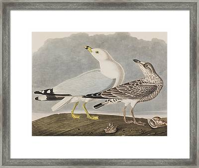 Common Gull Framed Print by John James Audubon