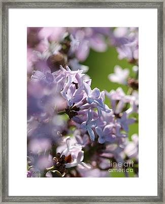 Common Purple Lilac Framed Print by J McCombie