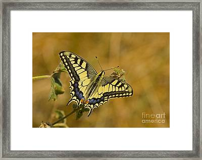 Common Swallowtail Framed Print by Steen Drozd Lund