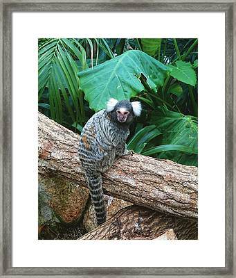 Commonmarmoset  Framed Print