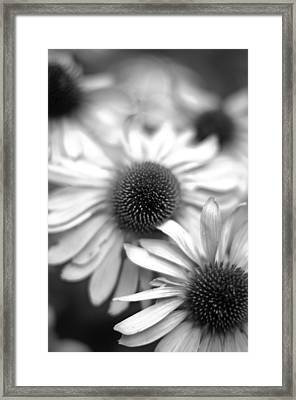 Cone Flower 7 Framed Print