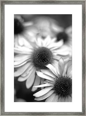 Cone Flower 7 Framed Print by Simone Ochrym