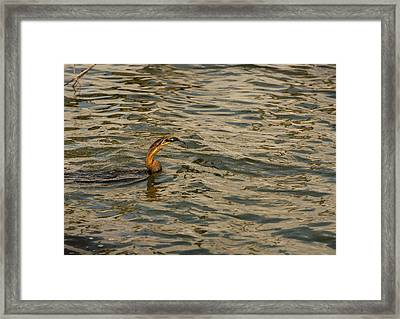 Caught Framed Print by Patrick Kain