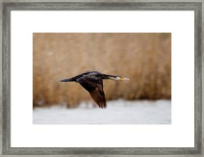 Cormorant In Flight Framed Print