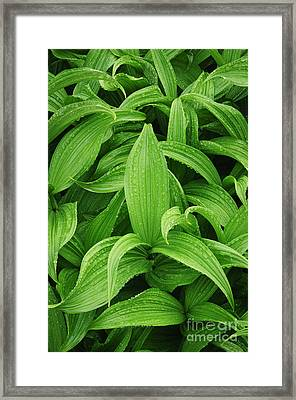 Corn Lily Framed Print by Greg Vaughn - Printscapes
