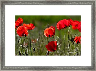 Corn Poppy Flowers Framed Print by Nailia Schwarz