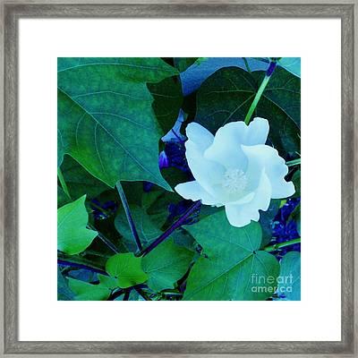 Cotton Blossom Framed Print