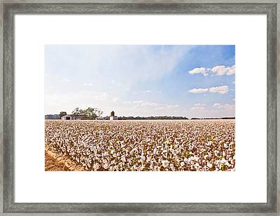 Cotton Field Framed Print