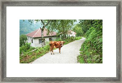 Cow Framed Print by Svetlana Sewell