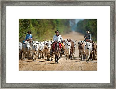 Cowboy Herding Cattle, Pantanal Framed Print by Panoramic Images