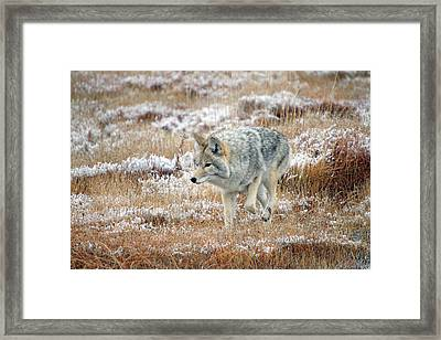 Coyote  In Yellowstone National Park Framed Print by Pierre Leclerc Photography
