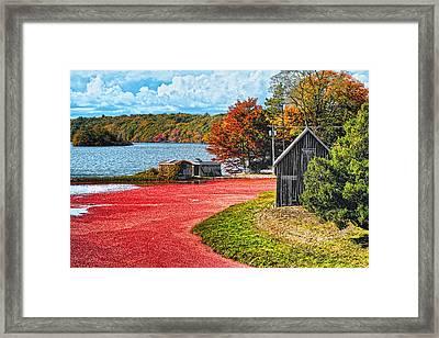 Cranberry Bog Framed Print by Gina Cormier