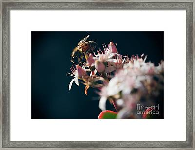 Framed Print featuring the photograph Crassula Ovata Flowers And Honey Bee  by Sharon Mau